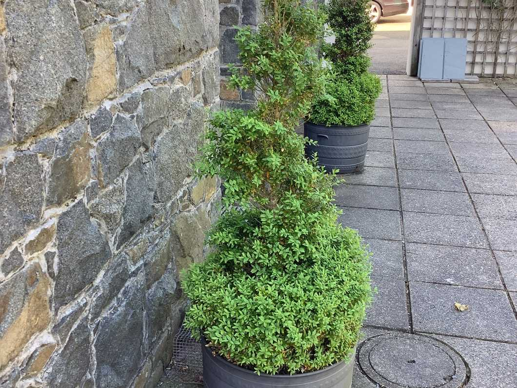 Pair of mature Buxus corkscrew plants, 5ft 6inches tall.